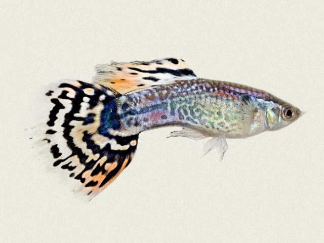 Leopard Tail