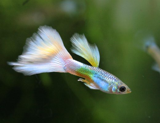 Why Is Guppies The Perfect Pet So Famous Fish Guppy