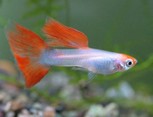 Essential Aquarium Equipment for Guppy Fish Tank