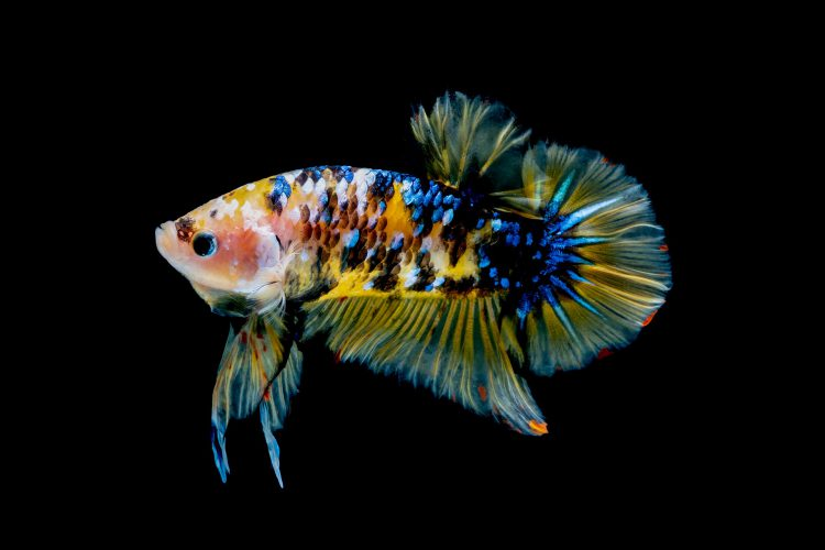 Everything You Need To Know About Betta Fish
