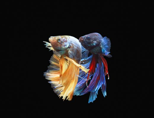 7 Fascinating Facts About Beautiful Betta Fish